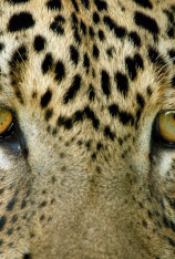 Un leopardo singular