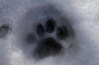 Episodio 296: El puma contra el lobo