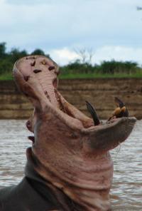 Los depredadores más letales de África. T2.  Episodio 3: Ataques felinos