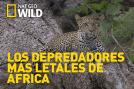 Los depredadores más letales de África: Asesinos gigantescos