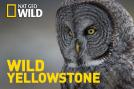 Wild Yellowstone: La frontera helada