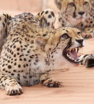 El ataque de los felinos