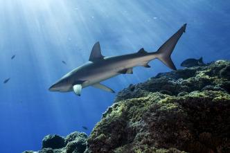 Los tiburones perdidos de la isla de Pascua