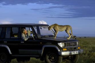 Guerras felinas: leones contra guepardos
