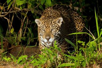 El jaguar, el felino fantasma
