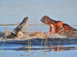 Hipopótamo contra cocodrilo