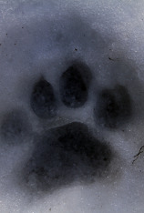El puma contra el lobo