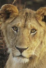 Juego de leones
