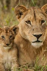Leones: caza por la supervivencia