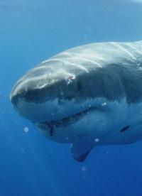 Patrulla tiburón. T1.  Episodio 1: Guadalupe: la isla de los tiburones blancos