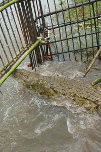 El ataque del cocodrilo del río Congo