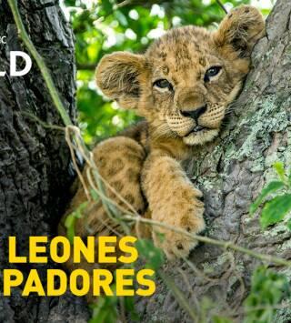 Los leones trepadores