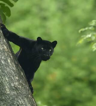 La auténtica pantera negra