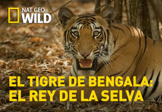 El tigre de Bengala: el rey de la selva