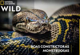 Boas constrictoras monstruosas