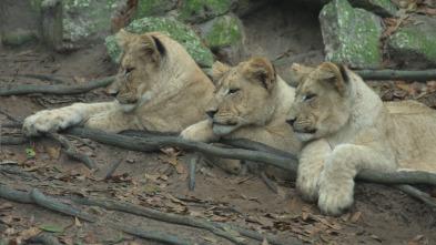 Ataque y defensa - Perros salvajes de África