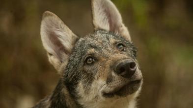 Depredadores de los Cárpatos - El reino del lobo