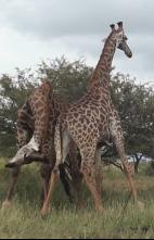 Animales: encuentros épicos - Choque de depredadores