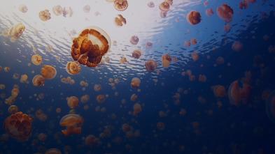 Las medusas más letales del mundo