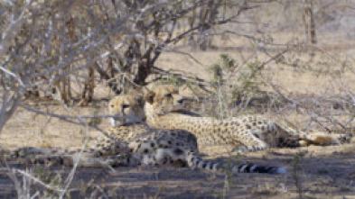 África, entre garras y mandíbulas - La amenaza del depredador