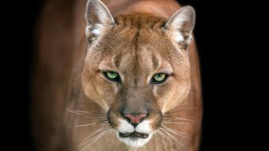 El club de la lucha animal - Guerras territoriales