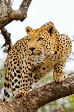 El leopardo y la hiena: una extraña alianza