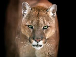 El club de la lucha animal - Lucha a muerte en la sabana