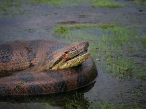Los animales más peligrosos del planeta: súper serpientes