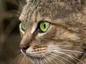 Ataques felinos