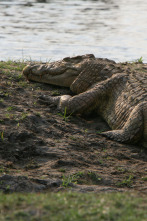 Los cocodrilos de Katuma