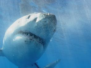 Patrulla tiburón - Guadalupe: la isla de los tiburones blancos