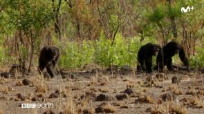 Dinastías: Chimpancés | #0