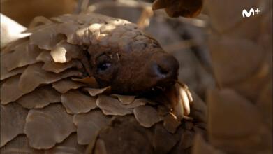 El mamífero más buscado: Así son los pangolines | #0