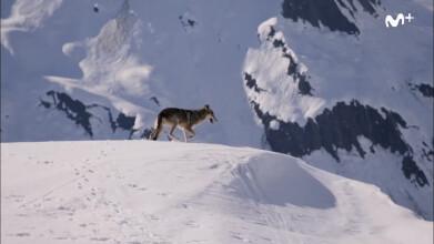 BBC Earth: La loba de las nieves | #0